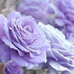 lavenderoses